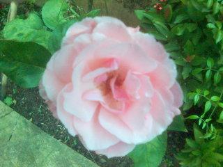 Rosa Clínica
