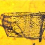 Microfragmento de carvalho encontrado na região occiptal da imagem do Sudário